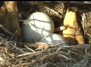Northeast Florida eaglecam pip watch