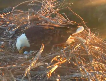 Third egg arrives at the IWS Sauces eaglecamnest!